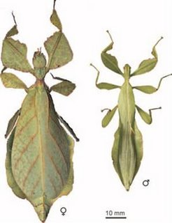 Eophyllium messelensis - Eocene Leaf Insect (Evolution Research: John Latter / Jorolat)