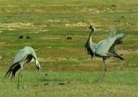 Courtship display of demoiselle cranes, Mongolia