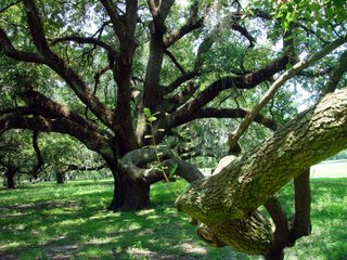 Live Oak in New Orleans