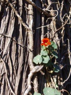 Nasturtium climbing a tree (c) Kayar Silkenvoice 2006