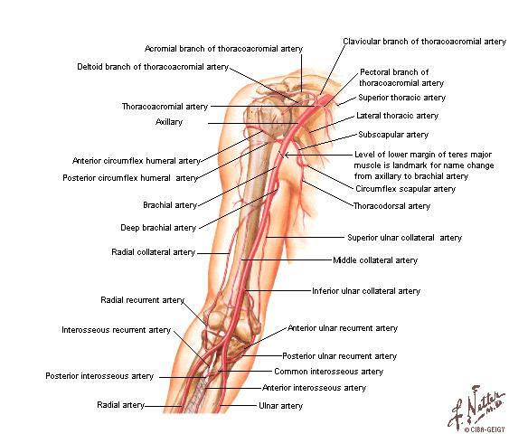Tu Preparador de Anatomía: Arterias del Miembro Superior - Anatomía ...