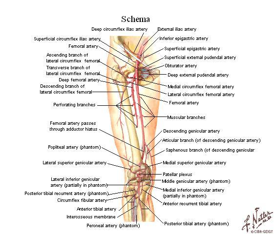 Tu Preparador de Anatomía: Arterias del Miembro Inferior - Anatomía ...