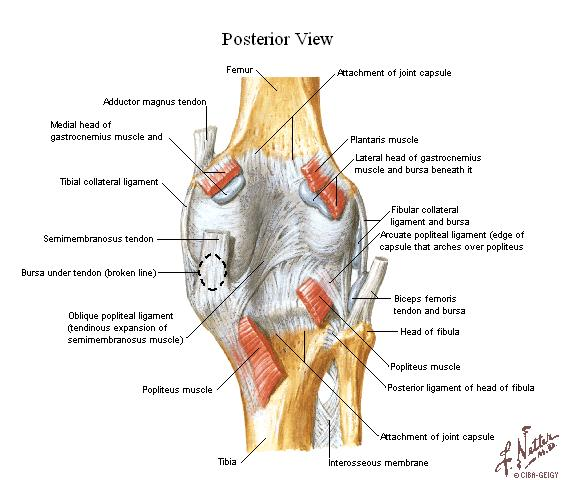 Rear knee anatomy
