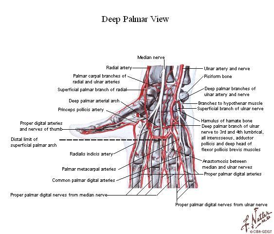 Tu Preparador de Anatomía: noviembre 2006 - Anatomía humana ...