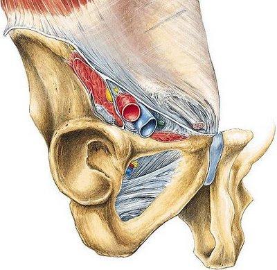 Tu Preparador de Anatomía: Región Inguinofemoral - Anatomía humana ...