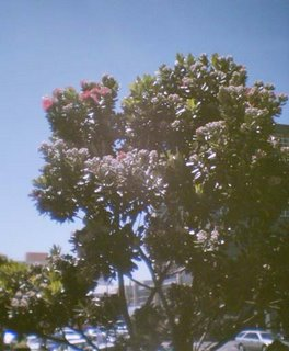 Pōhutukawa blooming in Wellington