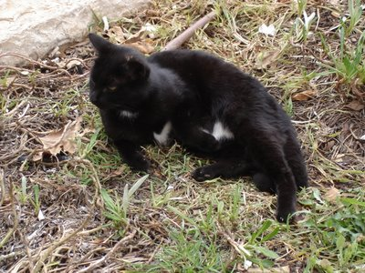 Black cat with white patches on tummy