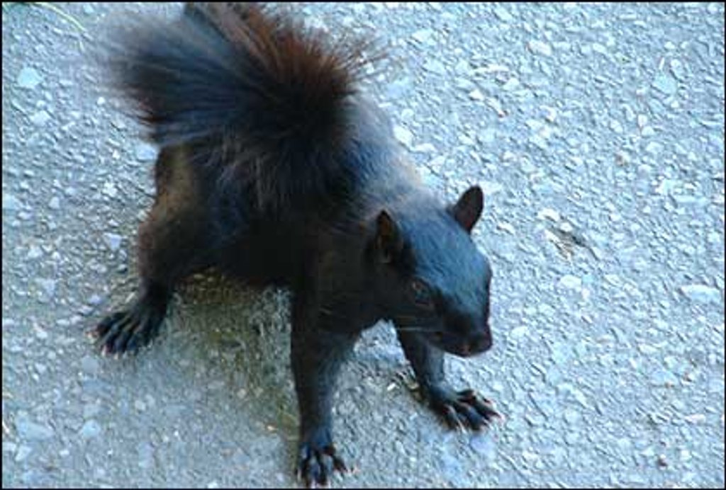 Grey Squirrel, Black Squirrel