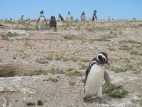 Punta Tombo: Ein Teil der 1 Mil. Pinguine