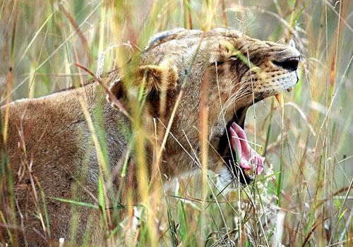 La vita noiosa della savana