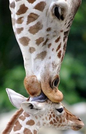 Giraffa che accarezza il suo piccolo