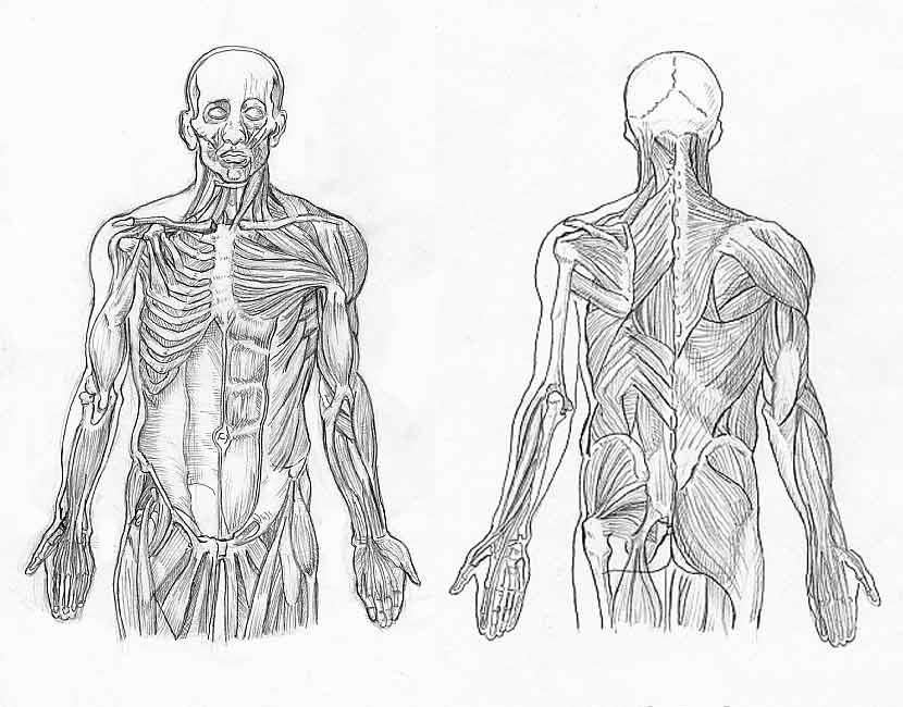 Excepcional Anatomía Colorear Páginas Músculos Ideas - Dibujos Para ...