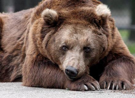 Caracteristica Do Urso Marrom