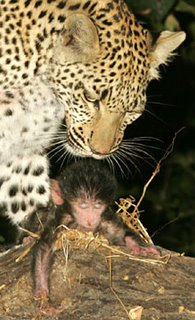 Leopard saved a baby baboon