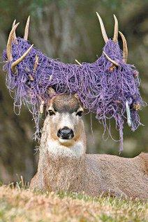 A buck mule deer.