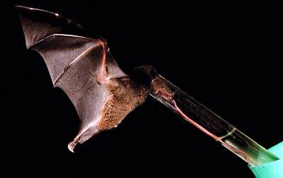Nectar bat Anoura fistulata drinks from a modified straw