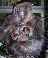fertility gorilla