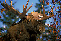 The moose...