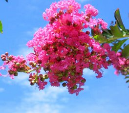 Crape Myrtle, July, 2007