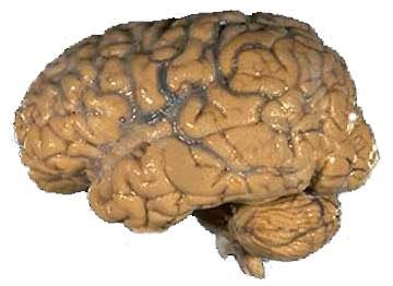 The Human Brain