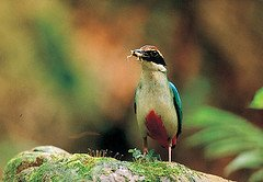 SAVE THE FAIRY PITTA