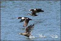 Eiders over water