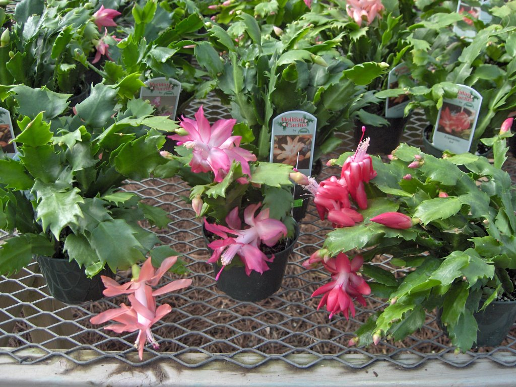 how to care for a christmas cactus - Decorating Cactus For Christmas