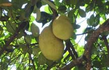 Pela(kai)-the jack fruit