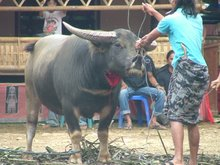 Sacrificial Buffalo
