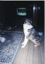Kallee, T.D.I., CGC - Certified Therapy Dog and a Canine Good Citizen - 1994-2005