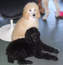 My mom and dad's new Standard Poodle babies