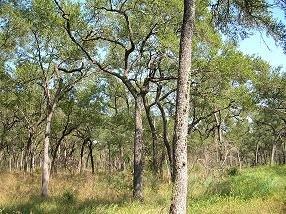 Ralera: bosque abierto de quebrachos...