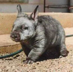 A wombat