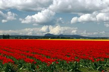 Acres of tulips in La Conner 04/07