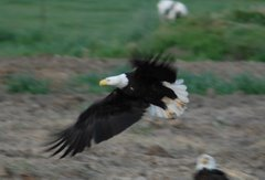 Bald Eagle on farmer's field 05/07