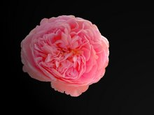 Abraham Darby, English Rose