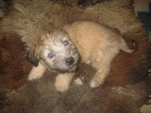 our wheaten pup -TT Red Lass