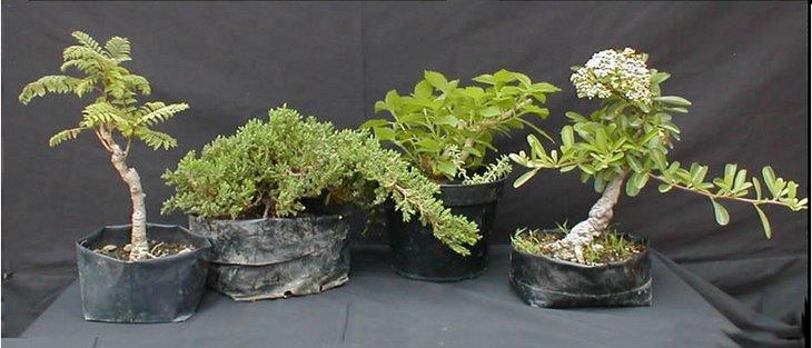 El arte del bonsai creaci n y cuidados del bonsai - Cuidado del bonsai ...