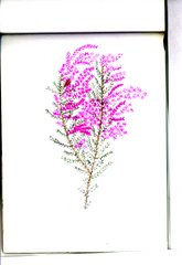 tamerici (marano lagunare)