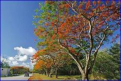 Flame tree の並木