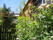 Wind Flowers and Roses around the side of the House in March 2007