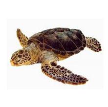 ¿Quieres aprender a determinar a qué especie corresponde la tortuga que has visto?