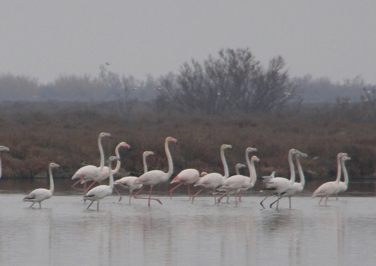 Flamingos in The Camargue