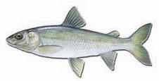 Fish I've Yet to Catch in Utah