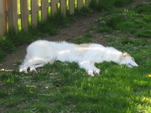 What Happens When Borzoi Deflate