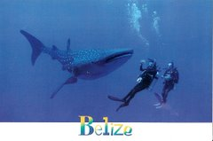 Belize's Whale Shark