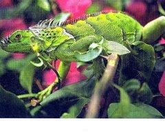 Belize's Iguana