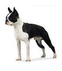 A typical adult bostonterrier