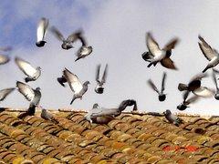 Palomas en el tejado de la Iglesia