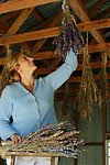 Hanging Fresh bouquets of Larkspur
